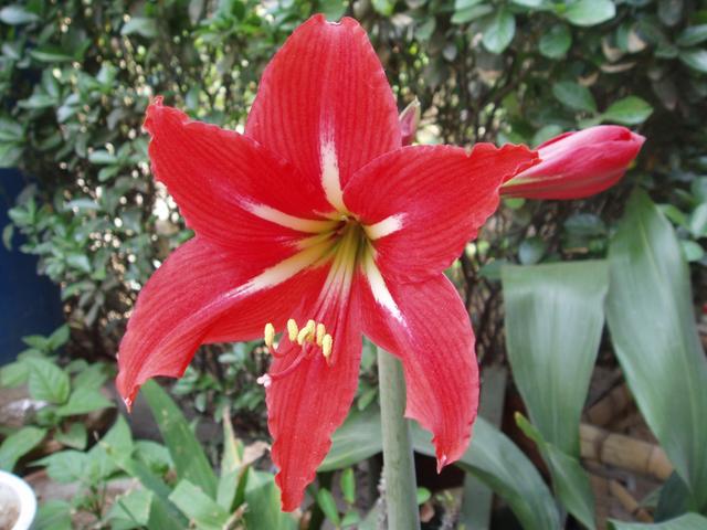 Амариллис: посадка и уход за цветами, фото, выращивание в горшке в домашних условиях и в саду, а также размножение семенами и несколькими луковицами