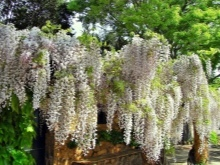 Глициния китайская: Профилик, Фиолетовая, Альба, Макростахия и остальные, фото этих лиан, их морозостойкость и выращивание в домашних условиях