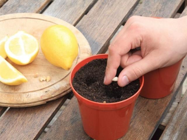 Как вырастить лимон из косточки в домашних условиях правильно: пошаговый алгоритм, выбор семечек, уход за комнатным деревом в горшке, а также как выглядит на фото
