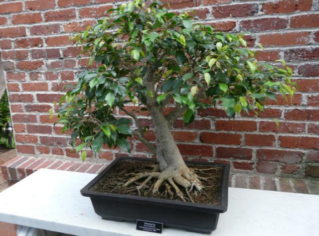 Бонсай лимон: какие условия и сорта нужны для выращивания, как посадить и правильно ухаживать, карликовое ли получается деревце, а также болезни и вредители