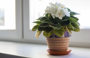 Как спасти цикламен от гибели: почему пропадает растение и что делать в домашних условиях, чтобы его реанимировать, в том числе как оживить после вредителей?