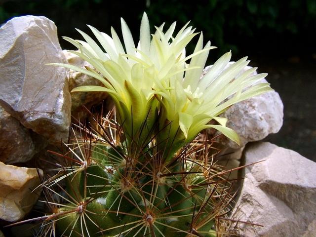 Корифанта: coryphantha elephantidens, compacta и другие виды кактуса, фото растения, его описание, история и география обитания, особенности ухода и размножения