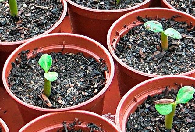 Адениум из семян в домашних условиях: нюансы выращивания, пошаговая инструкция, как правильно провести посадку, а также фото того, как выглядит посевной материал