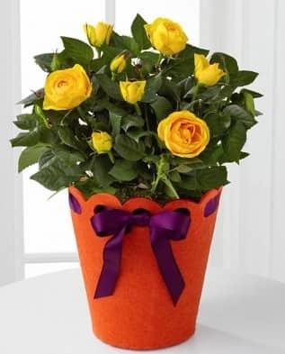 Желтеют и опадают листья у розы комнатной и садовой: почему у домашней в горшке сохнут и отваливаются цветки, от чего это бывает у уличного растения, что делать?