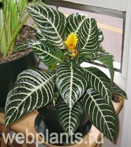 Афеландра оттопыренная, или скуарроса: комнатное растение и его описание, уход, размножение и возможные болезни этого цветка
