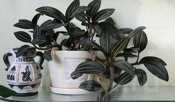 Лудизия: орхидея драгоценная, описание растения и отличия от других сортов, уход за ней в домашних условиях и фото цветка