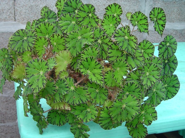 Комнатное растение Бегония Гриффита: описание и особенности цветка, а также полная инструкция по выращиванию и уходу за ним, способы размножения