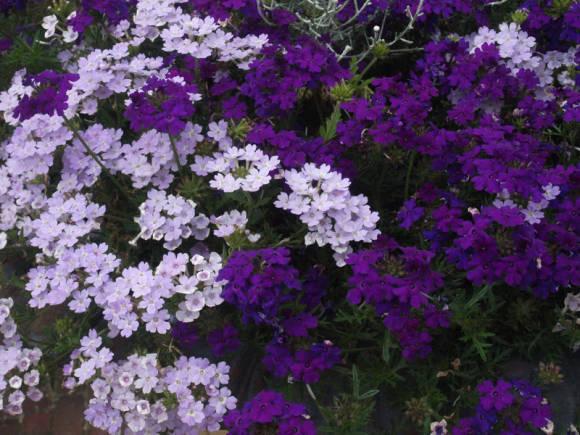Вербена гибридная – травянистое растение для открытого грунта: описание, фото, уход, выращивание из семян и черенков, а также возможные болезни и вредители