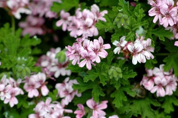 Герань Ангел: описание сорта, особенности ухода за этим маленьким растением и его размножения в домашних условиях, а также фото цветов