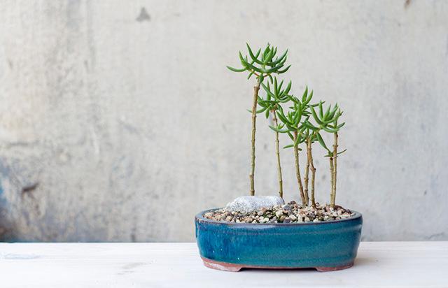 Как вырастить денежное дерево с толстым стволом: что нужно сделать, чтобы увеличить основной стебель растения, когда лучше начинать?