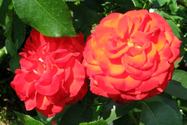Красные розы: фотои названия кустовых и других видов и сортов этого красивого цветка, в том числе с желтым, белым, оранжевым,  темным и даже черным оттенком