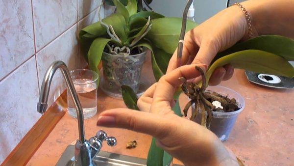 Липкие капли на орхидее: что это такое, почему они появляются и что можно сделать для того чтобы помочь растению?