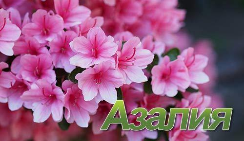 Сорта рододендрона или комнатной азалии: названия, описание и фото цветов в горшках, а также советы по посадке и уходу в зависимости от вида растения