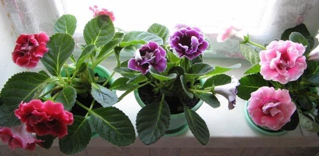Глоксиния: описание и фото того, как выглядит комнатное растение, названия сортов, какие на цветок цены, а также какой нужен уход этой красавице в домашних условиях