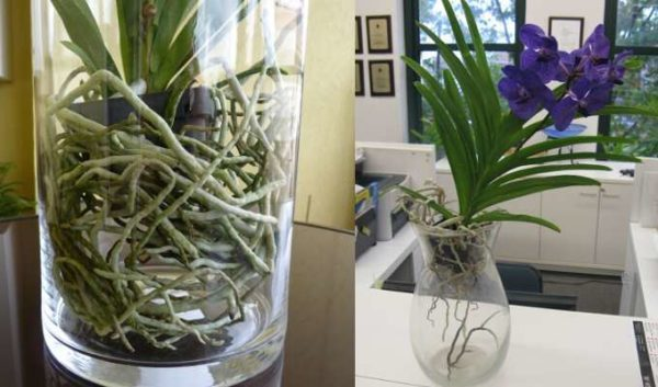 Как часто поливать орхидею Фаленопсис в домашних условиях: почему нужно соблюдать влажностный режим растения и какими способами необходимо это делать?