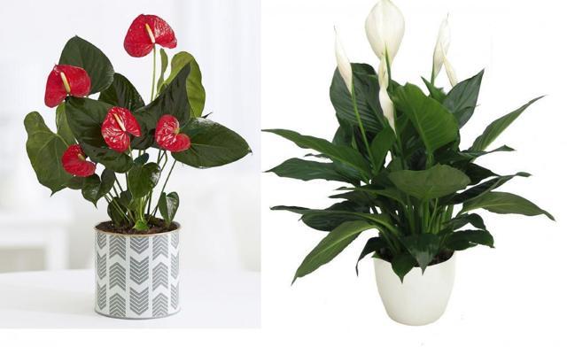Когда цветет спатифиллум: как часто и в какой период распускаются бутоны, какой должен быть уход за «женским счастьем» в домашних условиях?