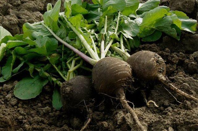 Когда сажать редьку: время для Сибири, Урала, Подмосковья, сроки посадки Майской, иных сортов, также в каком месяце весны можно сеять семена в открытый грунт и дома?
