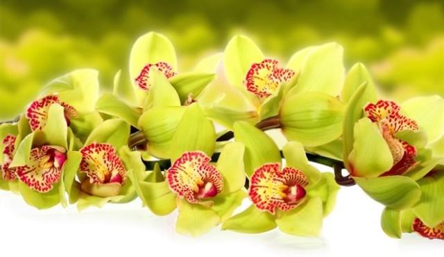 Цветение орхидеи: как начинают распускаться бутоны, каким образом правильно ухаживать за растением в домашних условиях в этот период и как оно выглядит на фото?
