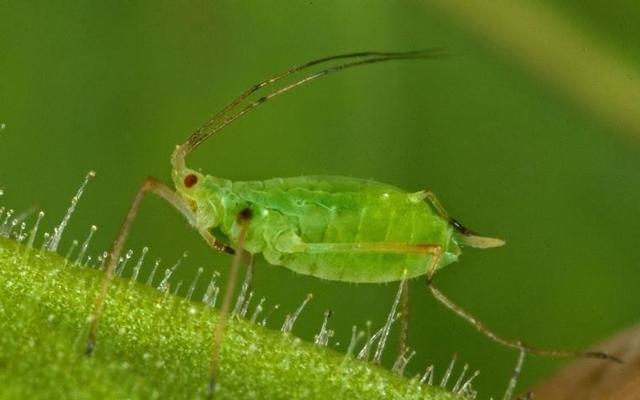 Тля: кто это, что ест такое насекомое, как выглядит на фото, относится к растительноядным или нет, а также отряд, значение в биогеоценозе, размножение партеногенезом
