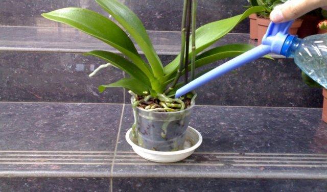 Полив орхидей: фото, как правильно осуществлять уход за цветами, можно ли увлажнять их обычной водой, сколько раз и как часто это нужно делать?