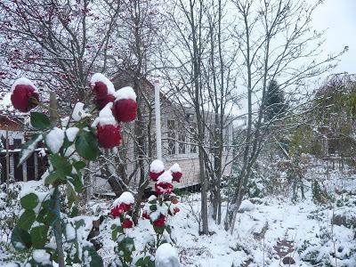 Как укрывать розы на зиму просто, надежно: уход и подготовка к холодам осенью, надо ли утеплять, когда выпал снег, и почему, что будет, если правильно не укутать?