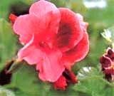 Какой горшок нужен для герани: выбираем подходящий размер и узнаем какую почву любит цветок