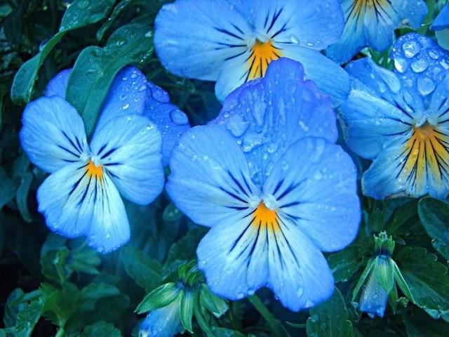 Анютины глазки: посадка, уход своими руками в горшке дома и в открытом грунте, когда сажать семена, рассаду, как вырастить, когда цветет растение, что делать осенью?