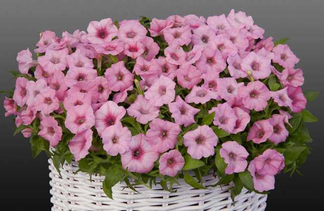 Петуния кустовая: названия сортов с описанием и фото разновидностей цветка