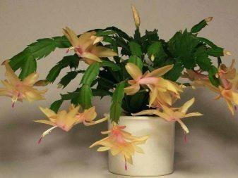 Желтый декабрист: описание и фото видов шлюмбергеры этого окраса, а также почему для выведения этого цветка понадобилось много времени