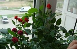Кустовая роза в горшке: уход в домашних условиях, ботаническое описание, особенности выращивания комнатного цветка, размножение, болезни и вредители