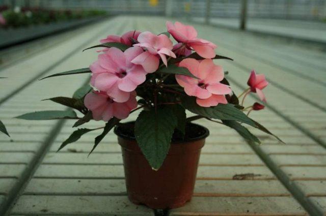 Бальзамин Железконосный: дикорастущее растение с лечебными свойствами, способы медицинского применения, фото цветка, советы по посадке, выращиванию и уходу