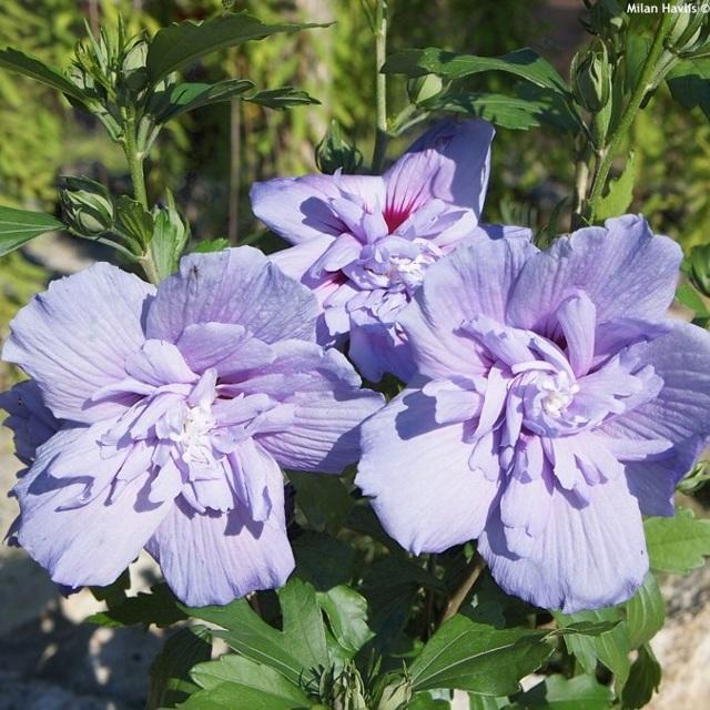 Гибискус сирийская роза (hibiscus syriacus): что это за растение, описание и фото сортов Озиау Блу, Ред Харт, Матильда и Майке, а также уход и размножение