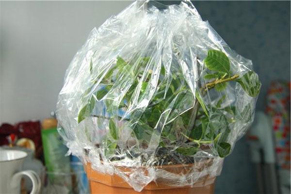 Гардения жасминовидная: фото, уход в домашних условиях, в том числе после покупки, особенности пересадки и размножения комнатного растения черенками и семенами