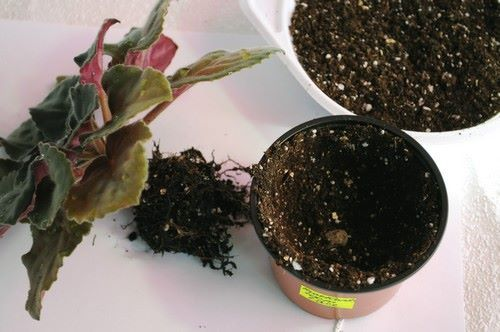Как пересаживать фиалки: можно ли цветущие, подготовка грунта, особенности и уход, а также возможные проблемы после процедуры