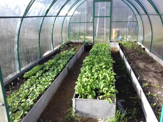 Редис весной в теплицу с отоплением и без него посадить и вырастить: как правильно сажать семена в Сибири и других регионах и нюансы выращивания и подкормки овоща