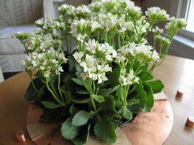 Каланхоэ цветущий: сорта растения с разной окраской, в том числе красной, а также вид на фото