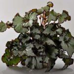 Виды бегонии: названия и фото, описание сортов комнатного растения, а также какие классификации бывают и что за уход нужен цветку в домашних условиях?
