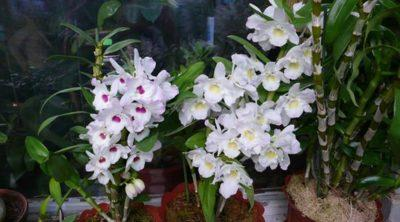 Орхидея дендробиум:  желтеют листья, что делать в этой ситуации и каковы причины болезни цветка?
