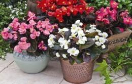 Бегония металлическая - комнатное растение: фото и описание внешнего вида, а также информация о правильном уходе и особенностях размножения