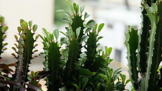 Как обрезать молочай, когда лучше это делать и можно ли растение отнести к кактусам или нет?