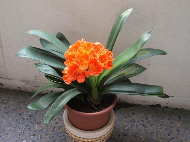 Кливия: пересадка и уход в домашних условиях, какой грунт подойдет и как засыпать землю, чтобы листья не загнили?