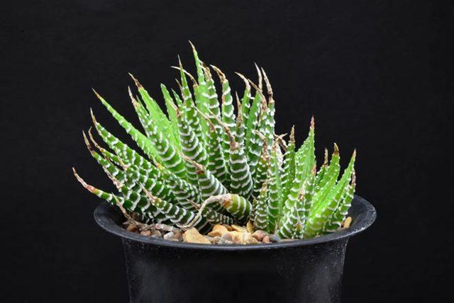 Алоэ пестрое (тигровое или aloe variegata): описание и фото комнатного растения, лечебные свойства, а также уход в домашних условиях и особенности размножения