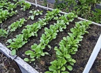 Когда сажать редис в открытый грунт лучше всего: благоприятные дни, чтобы можно было сеять семена в огородах, включая сроки в Подмосковье и время посадки на Урале