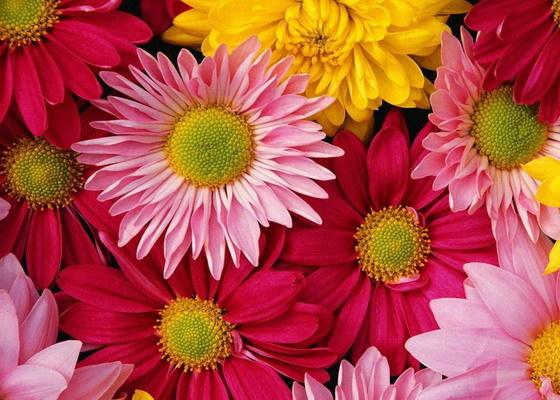 Гербера белая: описание цветка, правила ухода и фото растения