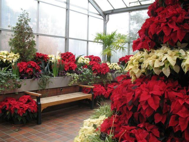 Уход в домашних условиях после покупки за пуансеттией: как правильно поливать зимой молочай прекраснейший - все для новичка, фото цветка Рождественская звезда