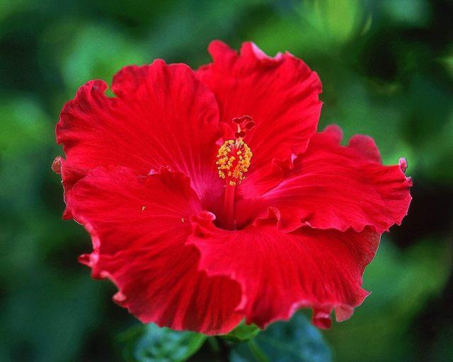 Цветок смерти китайская роза: почему нельзя держать дома, можно ли успешно выращивать комнатную культуру в квартире или нет, откуда у гибискуса такое имя?