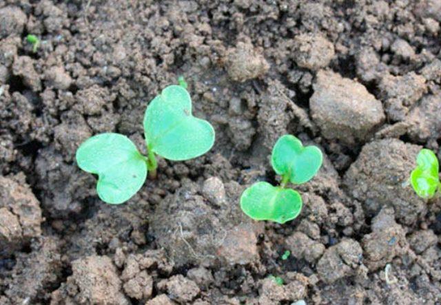 Когда сажать редиску весной в открытый грунт: сроки посадки в Подмосковье и в других регионах и как правильно сеять семена, после чего можно, каков должен быть уход?