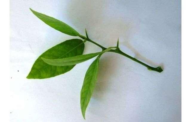 Размножение лимона черенками в домашних условиях: как посадить деревце в горшке, какие условия нужны для укоренения и выращивания комнатного любимца?
