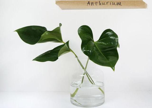 Антуриум Принцесса Амалия Элеганс: фото и описание, история появления, посадка, выращивание и уход, размножение, а также вредители и болезни и похожие цветы