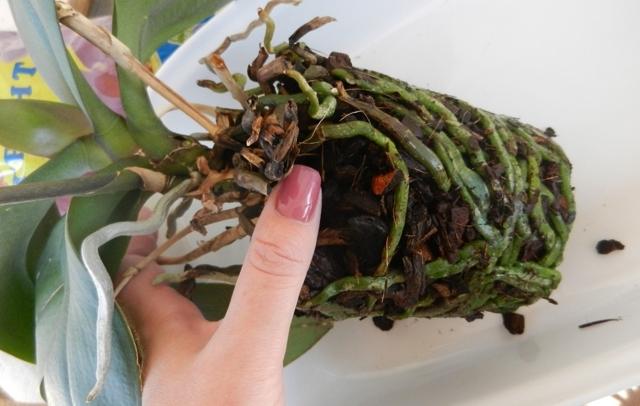 Почему листья у орхидеи мягкие и вялые: причины увядания, что делать, чтобы устранить эту проблему, а также какой уход растению необходим в дальнейшем?
